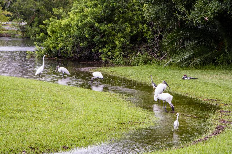 Woodstorks and Egrets wade in stream. Woodstorks and egrets congregate at flowing water after a heavy rain stock images