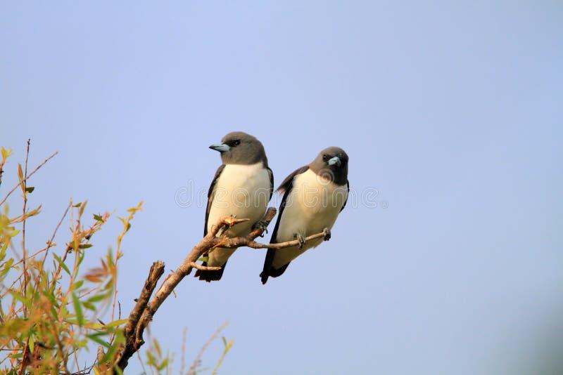 Woodswallow blanc-breasted photos libres de droits