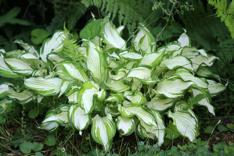 Ground cover of healthy green and white hosta plants in woodsy landscape stock image