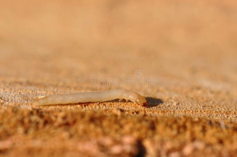 woodworm foto de stock royalty free