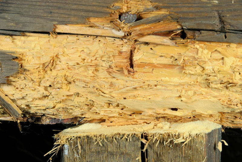 Woodworm. In old wood in the house stock image