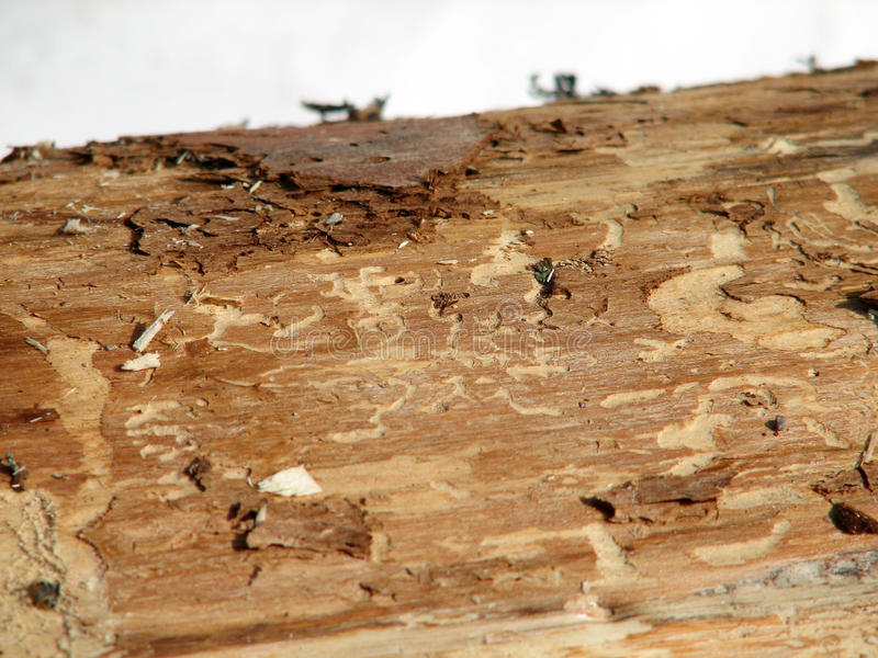 Woodworm. Damaged wood woodworm. You can see the gangway stock image