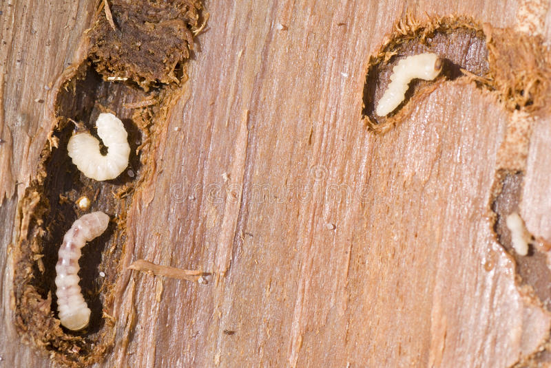 Woodworm imagem de stock royalty free