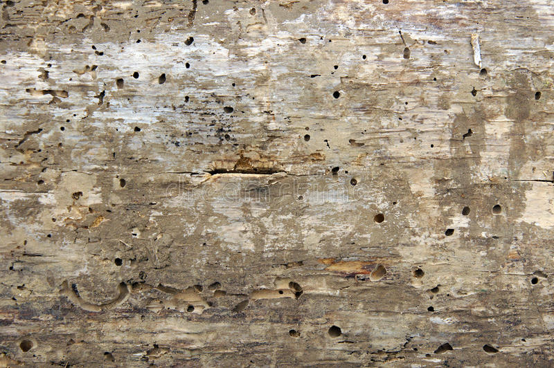 Woodworm holes and burrows. Old log with woodworm holes and burrows created by beatles Anobium punctatum royalty free stock images