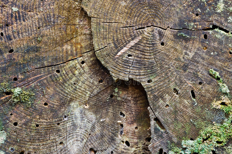 Woodworm holes. In a rotting tree trunk royalty free stock photos