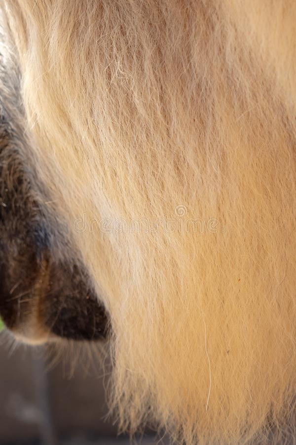 Wool on a camel as an abstract background royalty free stock photo