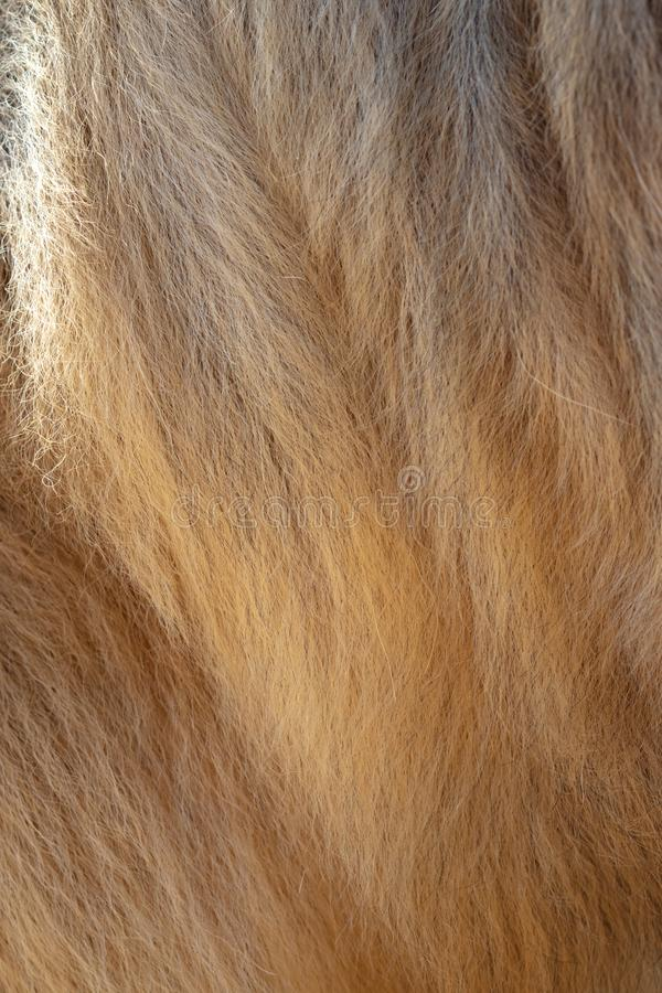 Wool on a camel as an abstract background royalty free stock image