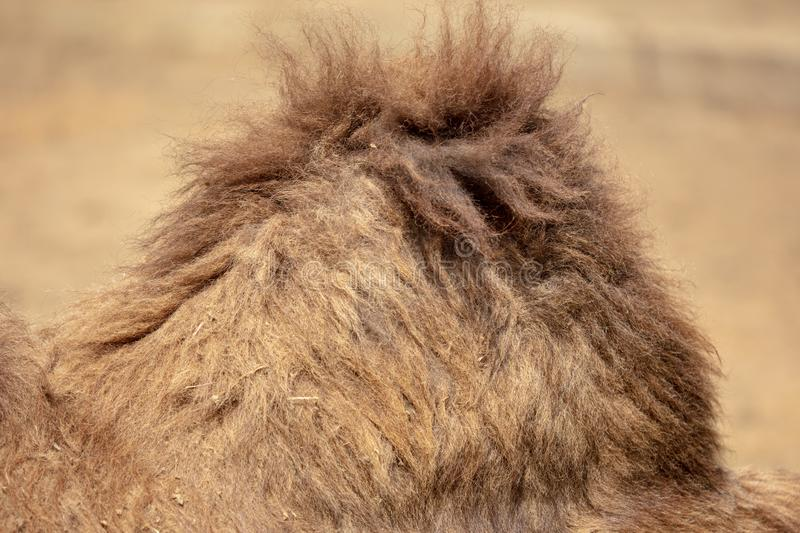 Wool on a camel`s hump in nature royalty free stock images