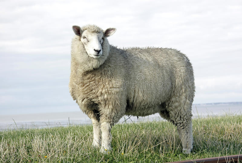 Wool sheep royalty free stock photo