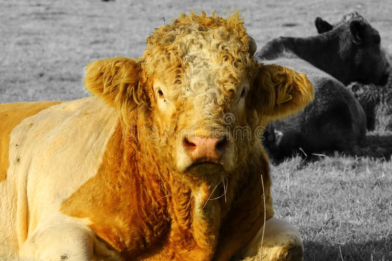 Woolly cow. A cow with the sun shining on it making the brown colour turning nearly orange royalty free stock images