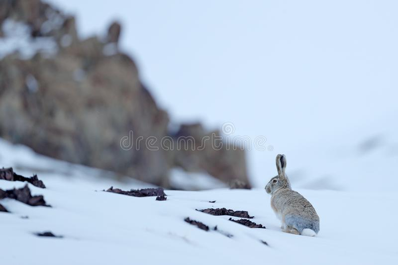 Woolly hare, Lepus oiostolus, in the nature habitat, winter condition with snow. Woolly hare from Hemis NP, Ladakh, India. Animal. In the Himalayas mountain royalty free stock image