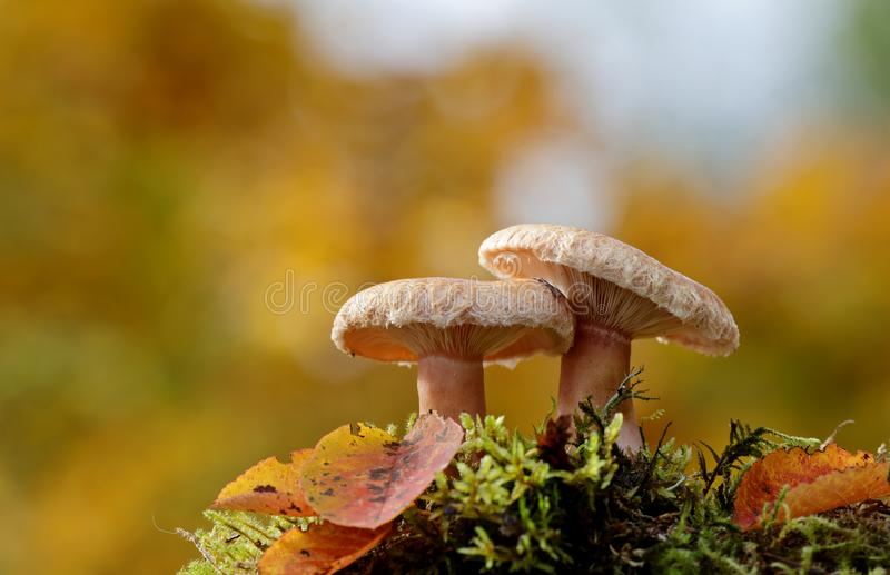 Woolly milkcap mushrooms with yellow autumn background. A pair of woolly milkcap mushrooms growing in forest, autumn yellow background stock photography