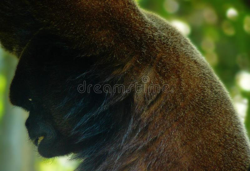 Woolly monkey with a very distinctive expression on his face royalty free stock image