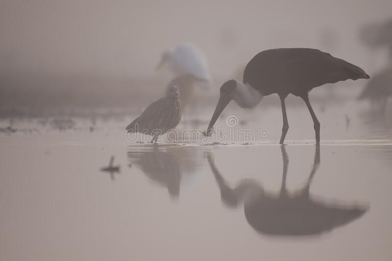 Woolly necked stork fishing royalty free stock photography