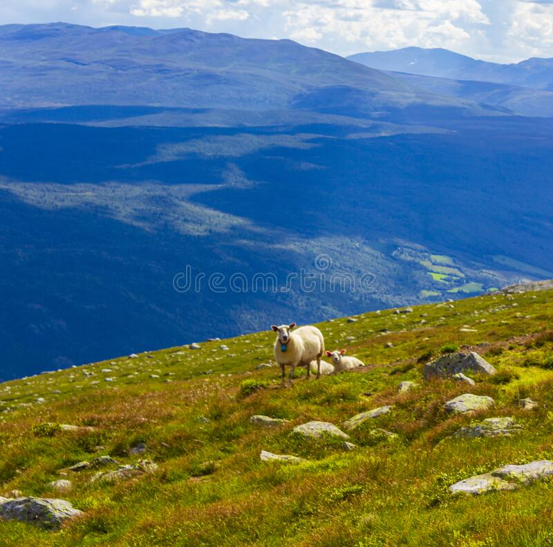 Free Woolly Sheep In Meadow On The Mountain Vang Norway Royalty Free Stock Photography - 208839767