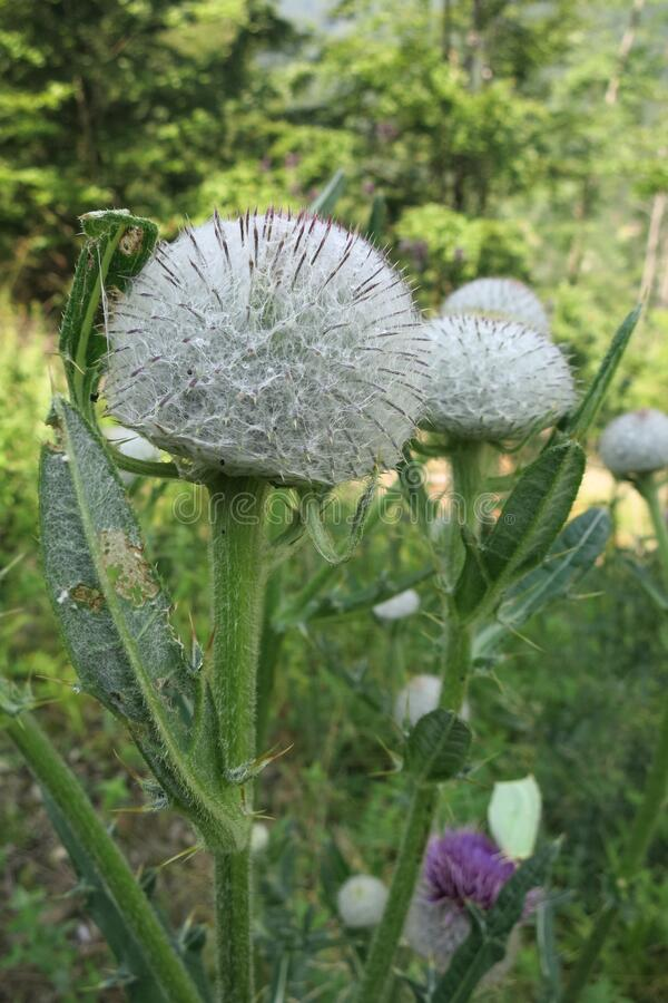 Woolly thistle Cirsium eriophorum stock photos