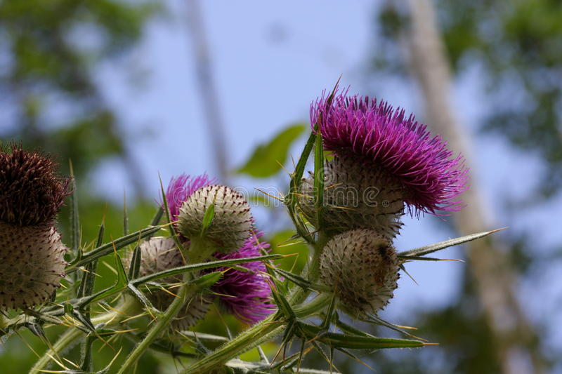 Woolly thistle stock photo