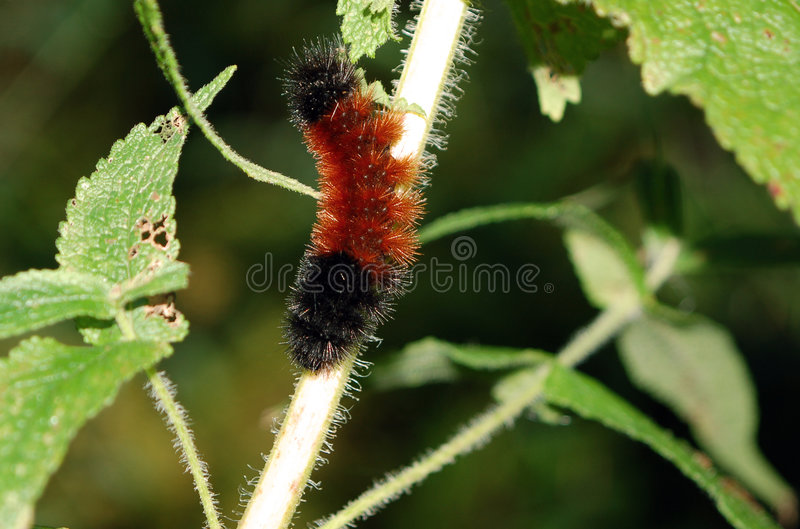 Wooly Bear. Caterpillar of the Isabella Tiger Moth royalty free stock photo