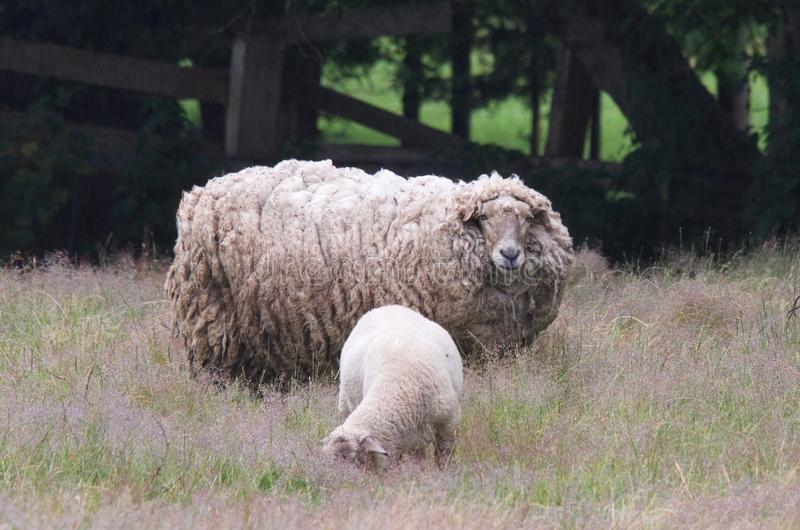 Wooly Boogers. A young lamb grazing along its mothers side as the ewe watches intently stock image