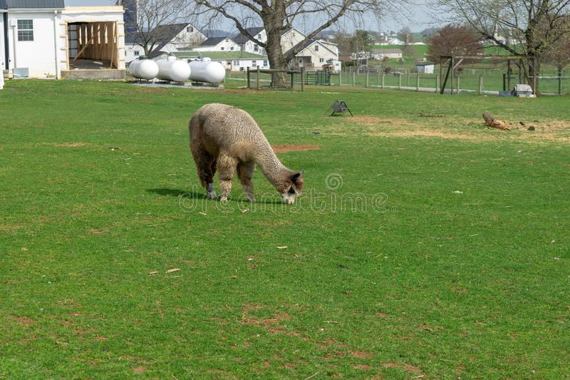 Wooly br?zu Alpagowy pasanie peacfully na luksusowej zielonej ??ce na Amish gospodarstwie rolnym w Lancaster okr?gu administracyj zdjęcia stock