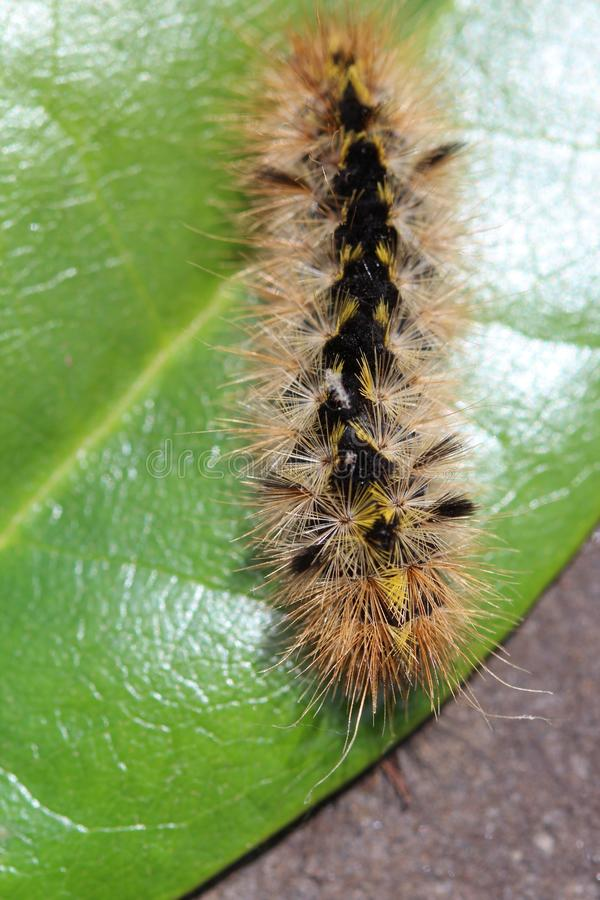 Download Wooly Caterpillar stock photo. Image of black, detail - 31752070