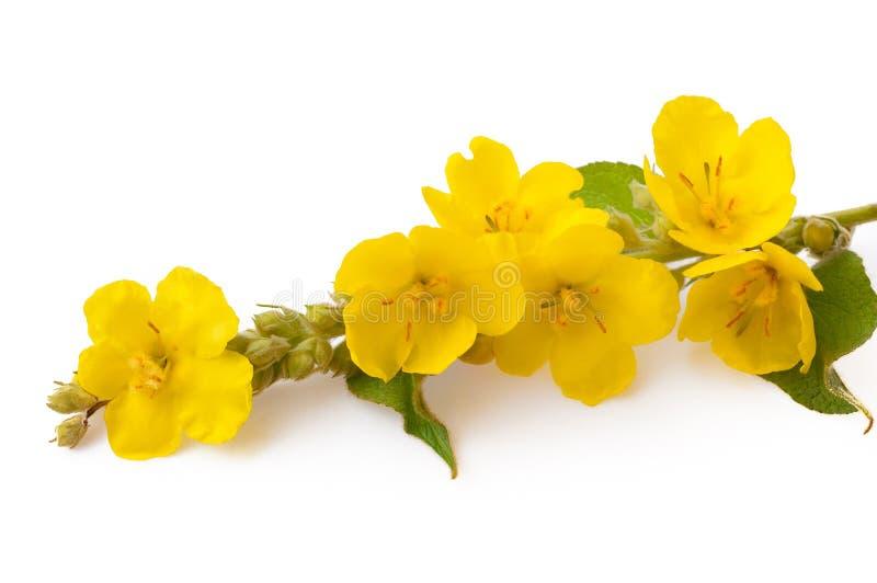 Wooly dziewanny Verbascum phlomoides Liście i kwiaty są anodyną, antyseptyk, astringent, demulcent, emollient, fotografia royalty free