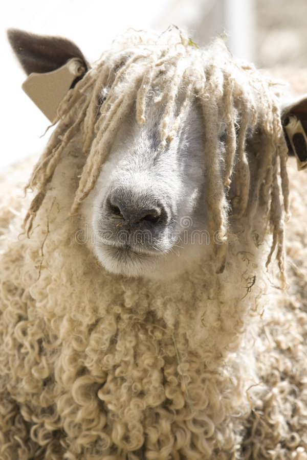 wooly får för framsida s arkivfoton