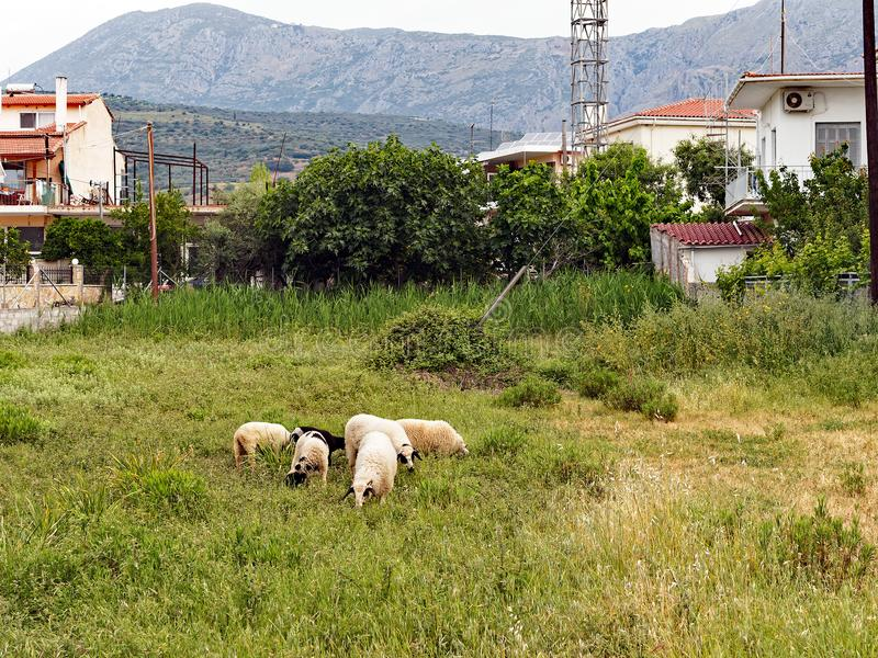 Wooly Greek Sheep Grazing in Small Village Paddock royalty free stock photography