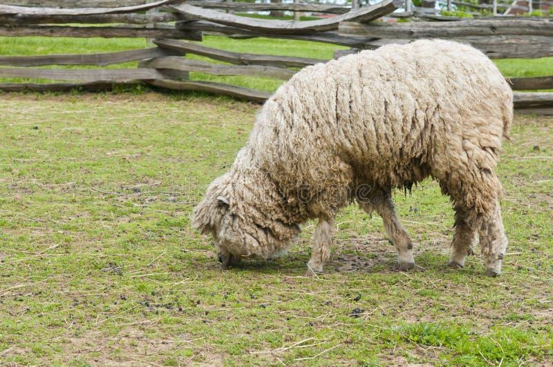 Wooly Lamm Stockfotos