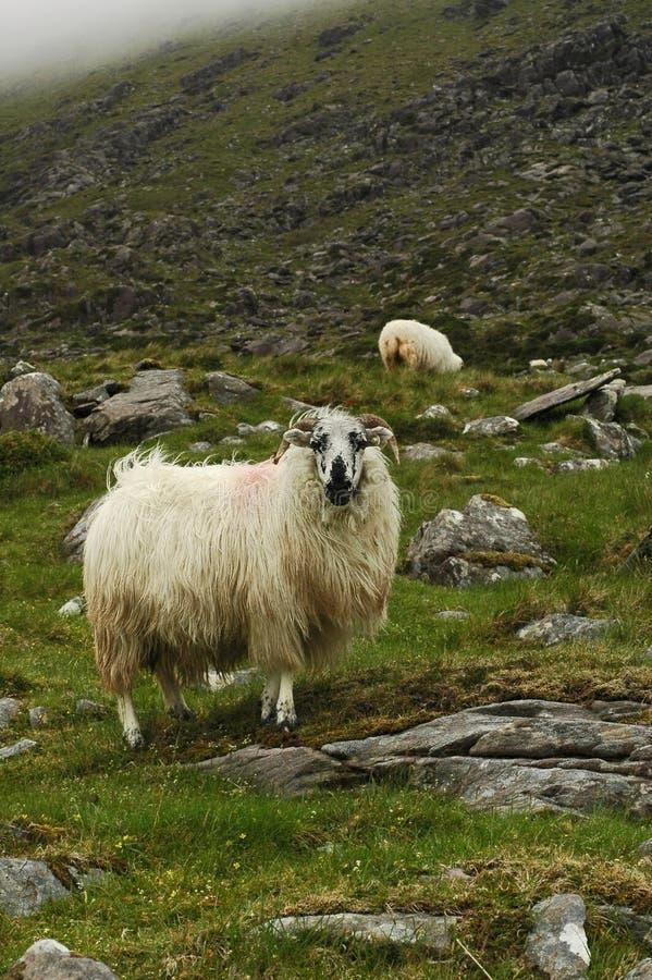 Wooly RAM lizenzfreies stockbild
