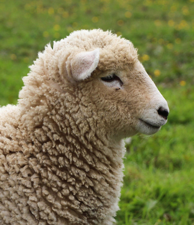 Download Wooly Sheep stock image. Image of sheep, lamb, zealand - 27355873