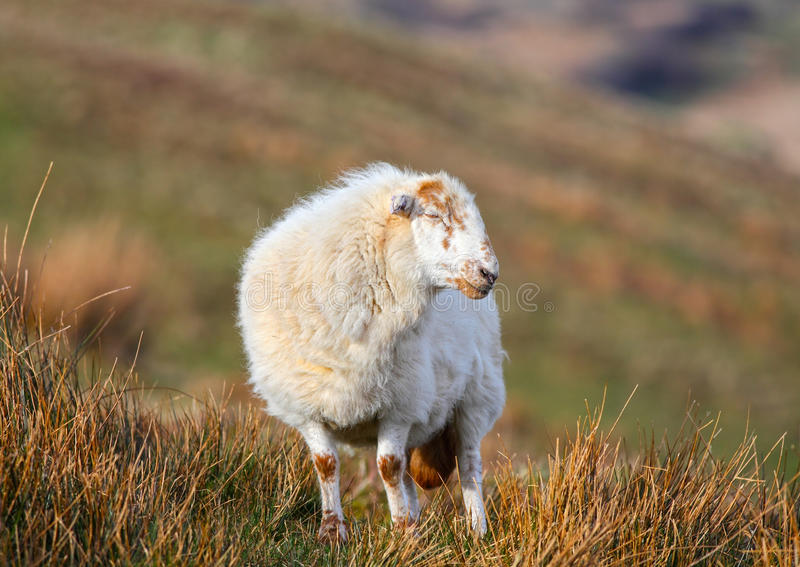Download Wooly sheep stock image. Image of adult, full, wales - 39502923