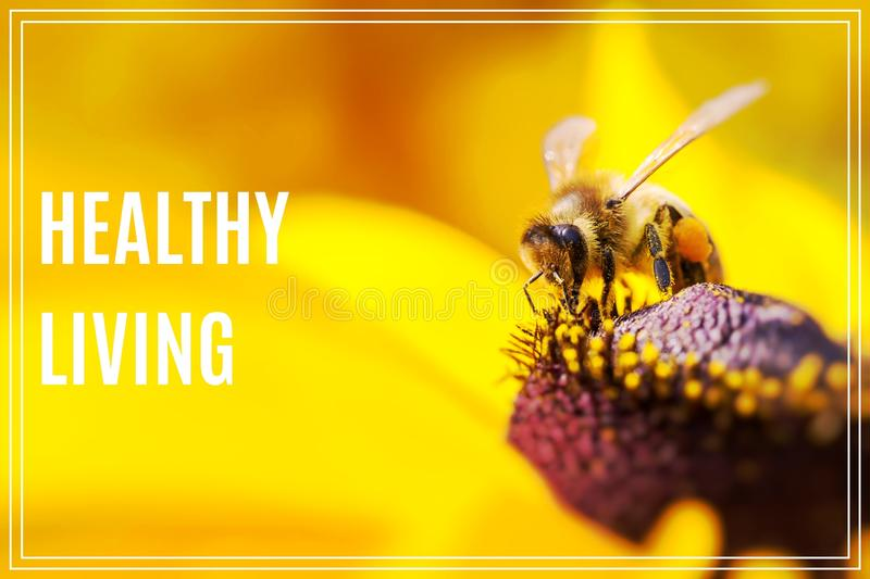Word Healthy Living. Close-up photo of a Western Honey Bee gathering nectar. stock images