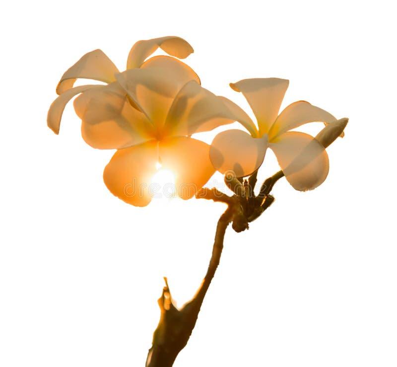 Worden de witte bloemen van Plumeriafrangipani blootgesteld aan zonlicht, oranje kleurenveranderingen Op witte achtergrond Geïsol royalty-vrije stock afbeelding