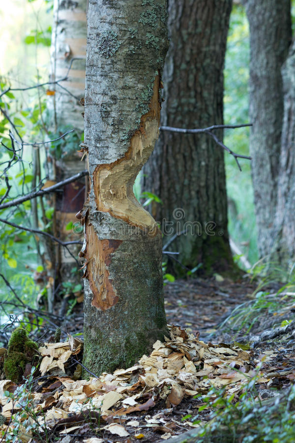 The Work Of Beavers Royalty Free Stock Photo