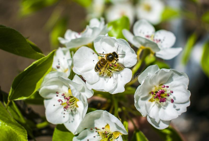 The work of a bee is harvesting in the form of pollen and making honey royalty free stock photos
