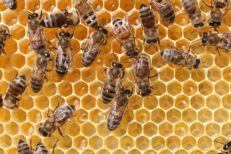 Work of the bees in hive stock image