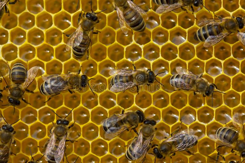 Work bees on a honeycomb royalty free stock images