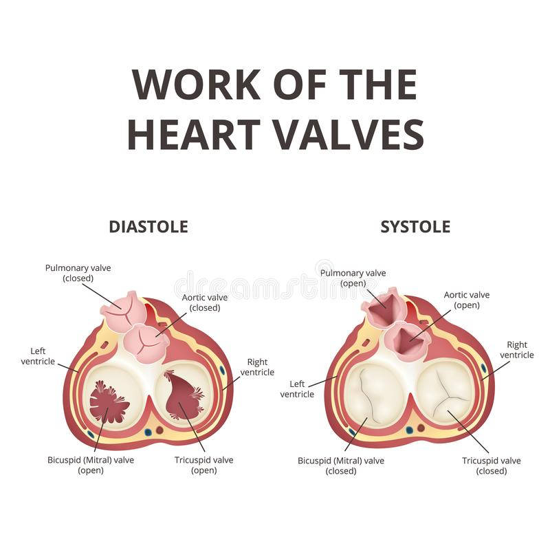 Heart valves anatomy stock vector. Illustration of care - 111931006