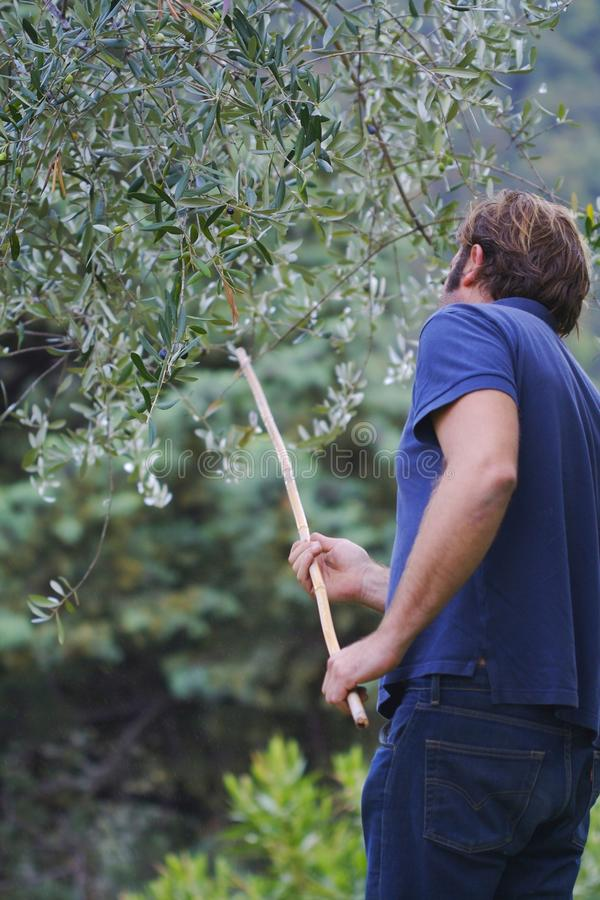 At work in a plantation of olive trees stock images
