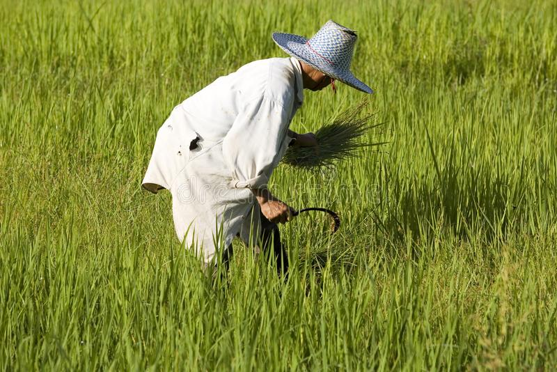 Work on the rice field royalty free stock image
