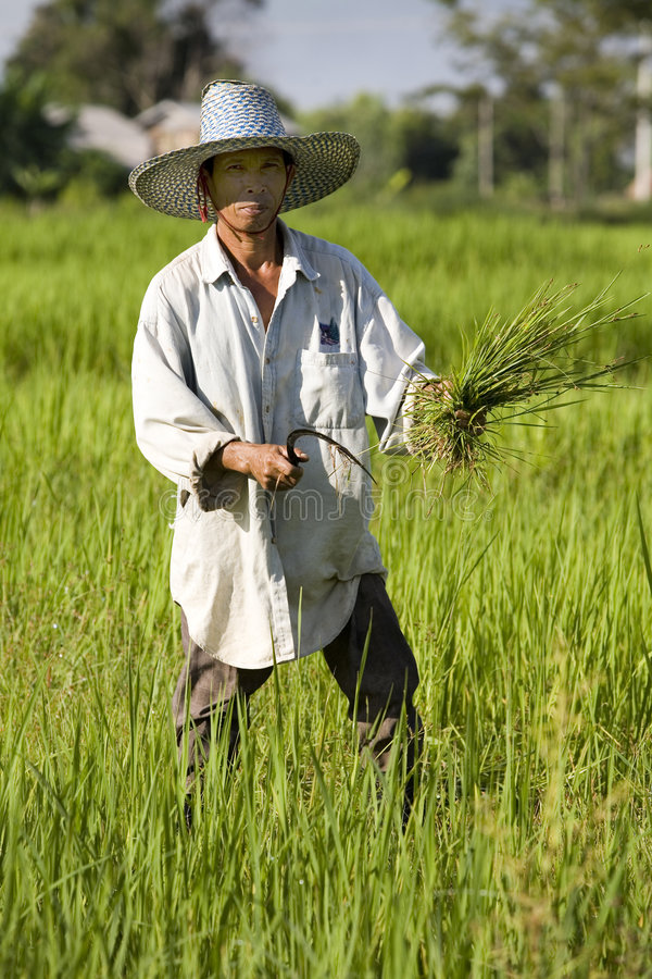 Work on the rice field stock image