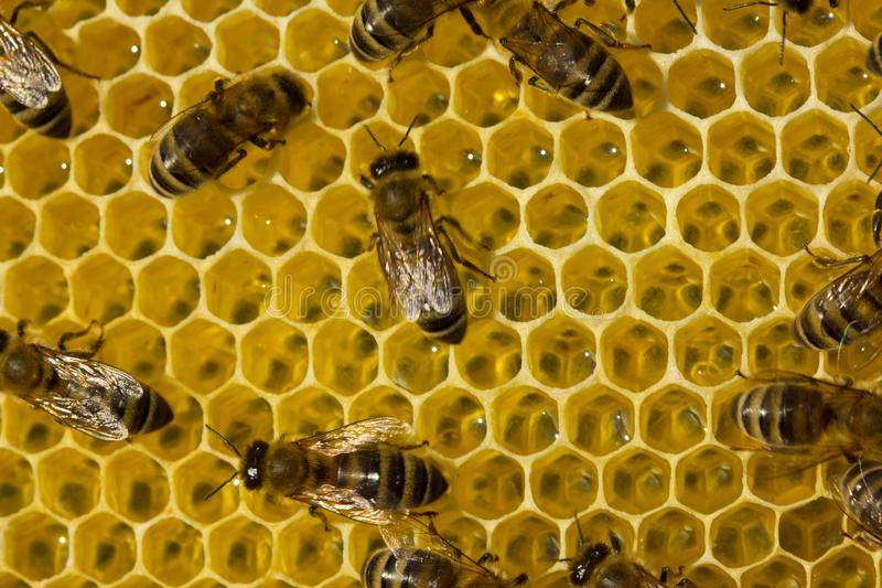 Work of young bees inside the hive. Bees inside the hive.  Bees build honeycombs and convert nectar in to honey stock image