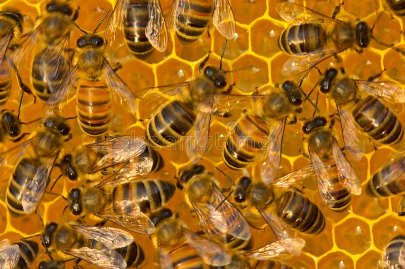 Work of young bees inside the hive. Bees take nectar from honeycomb to transform it into honey royalty free stock image