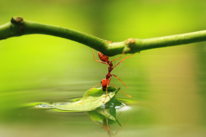 Download Worker ant stock image. Image of macro, reflection, world - 36722061