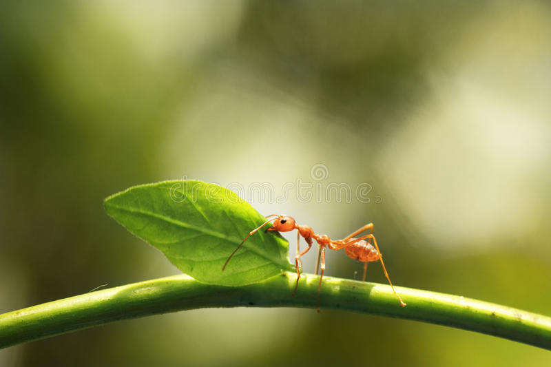 Worker ant royalty free stock image