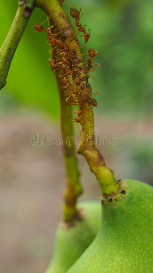 Worker Ants on The Branches. Of Mango stock images