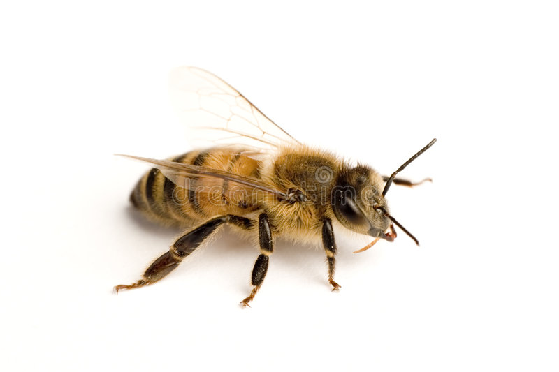 Worker bee stock images