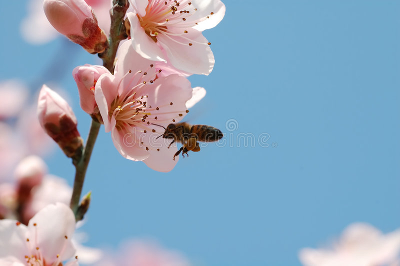 Worker bee. And flower of peach stock image