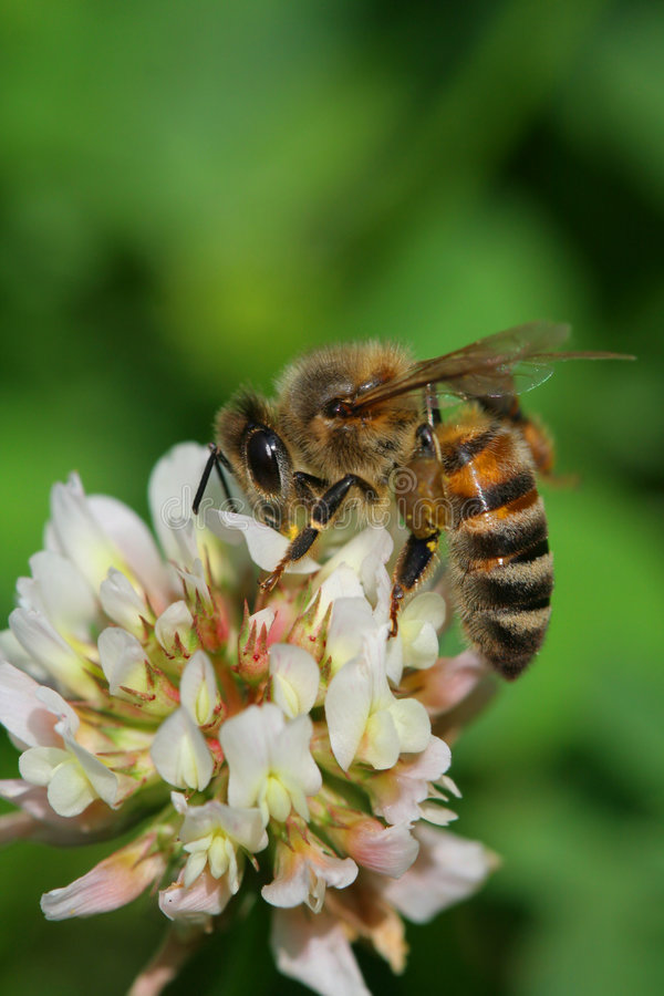 Worker bee. Detail of worker bee on a flower royalty free stock photo
